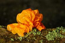 Close Up Of Jelly Fungus (Tremella Mesenterica). Partly Transparent Mushroom With Vivid Orange Color. Dark, Blurred Background.