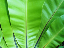 The Leaves Of Bird Nest Fern Are Reflected By The Sunlight.