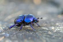Anoplotrupes Stercorosus Bug I...