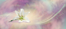 Beautiful White Lily Flowing Background - The White Lily Symbolizes Virginity, Chastity And Virtue, Here Is A Lone Head Isolated On A Muted Peach Purple Grey Energy Whoosh Background