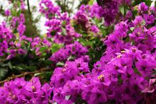 Bougainvillea - Purple Bush Flowers Which Are Common For Rome, Italy. Close View
