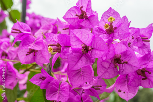 Macro view of bougainvillea - purple bush flowers which are common for Rome, Italy - 306906670