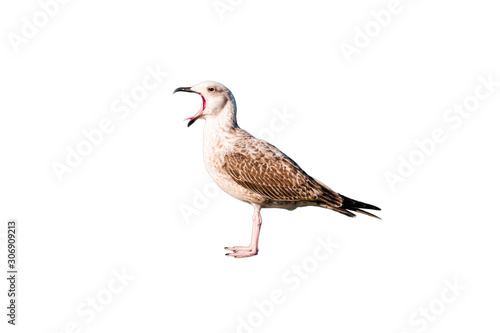 Seagull with wide open mouth isolated on white background Canvas-taulu