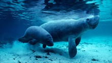 West Indian Manatee And Baby I...
