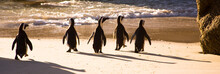 African Penguins On Boulders B...