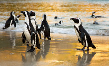 African Penguins On Boulders B...