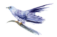 Watercolor Drawing Of A Bird - Cuckoo On A Branch