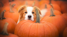 Beautiful Dog And Pumpkins At ...