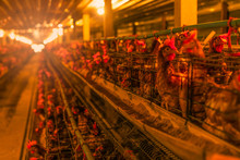 Chicken Farm. Egg-laying Chicken In Battery Cages. Commercial Hens Poultry Farming. Layer Hens Livestock Farm. Intensive Poultry Farming In Close Systems. Egg Production. Chicken Feed For Laying Hens.