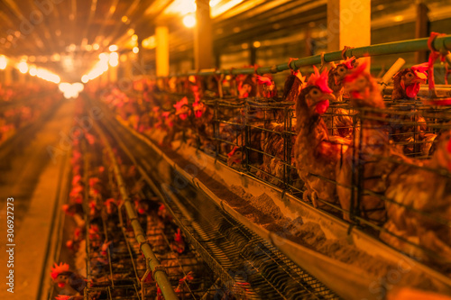 Recess Fitting India Chicken farm. Egg-laying chicken in battery cages. Commercial hens poultry farming. Layer hens livestock farm. Intensive poultry farming in close systems. Egg production. Chicken feed for laying hens.