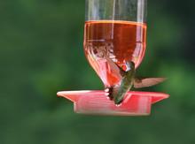 Ruby Throat Hummingbirds Flyin...