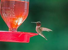 Ruby Throat Hummingbirds Flying Around A Red Feeder.