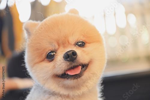 Obraz pomeranian dog cute pet happy smiling in the morning - fototapety do salonu