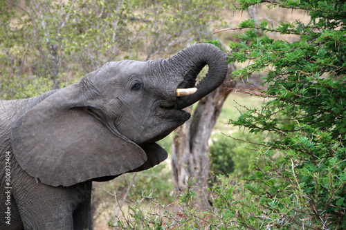 Elephant in Kruger National Park South Africa