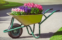 Dutch Tulips And Violet Hyacinths In The Garden Cart Close Up. Spring Flowers Planted Into A Wheelbarrow As Floral Decoration In The Park - Landscaping Design In Holland Park.