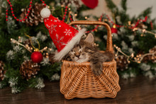 Cute Brown Kitten In A Santa Claus Hat Sleeping In A Basket Under The Christmas Tree, Christmas Concept