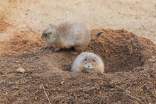 Two Black Tailed Prairie Dogs (Cynomys Ludovicianus) In Burrow