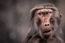 A Funny Portrait Of A Baboon