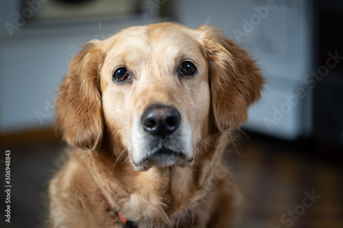 Fototapeta portrait of golden retriever dog obraz na płótnie