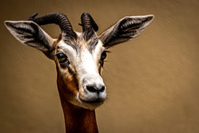 Fine Art Portrait Of A Gazelle