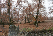Chestnut Trees From The North Of Huelva With The Reddish Colors Of Autumn Just Before Falling The Leaves Of The Trees
