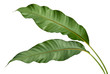canvas print picture - Philodendron leaf tropical isolated on white background.