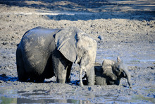 Baby Elephant Blocked In The Mud, Helped By The Mother In Mana Pools National Park, Zimbabwe
