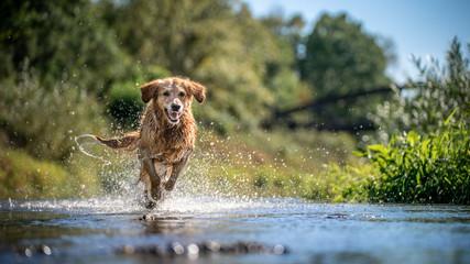 Fototapeta Pies dog in water