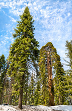 The Giant Forest In Sequoia Na...