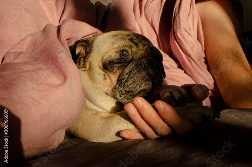 cute dog breed pug sleep with owner in the bed Wallpaper Mural