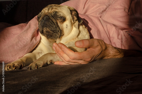 Photo  cute dog breed pug sleep with owner in the bed