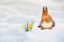 Cute Red Squirrel Walks On White Snow In Spring Park Near Yellow Flowers Snowdrops