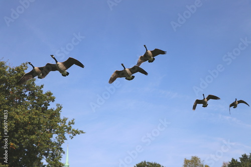 Armada of low flying wild geese in formation under blue sky, copy space Canvas Print