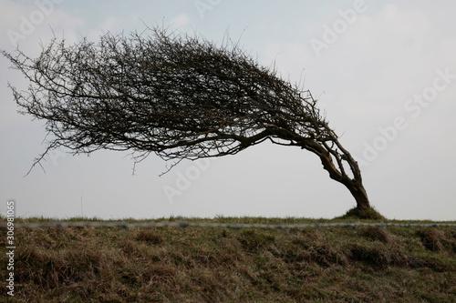 Obraz na płótnie weathered tree blown to side by wind