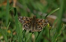 Marshmallow Butterfly (Carcharodus Alceae)