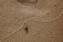 Beach Hoppers Or Sand Fleas Ph...