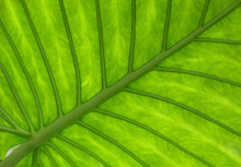 Large Tropical Leaf Veins
