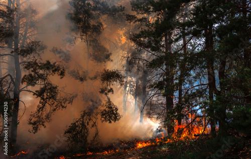 Obraz na plátně wildfire at sunset, burning pine forest .