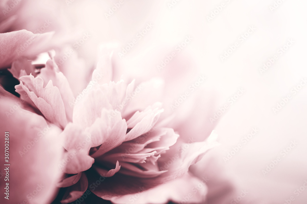 Fototapeta Peony flowers close-up, soft focus. Gentle floral background