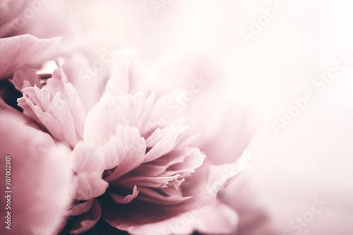 Piwonia kwiaty zbliżenie, nieostrość. Delikatne tło kwiatowy