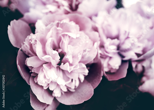 Bouquet of pink peonies in pastel colors close-up on a dark background. Gentle floral background