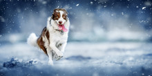 Border Collie Dog Is Happy And...