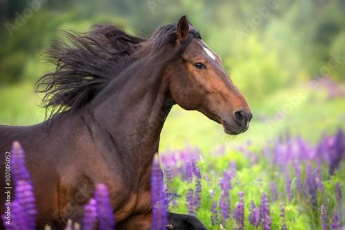 Obraz Bay  horse with long mane in lupine flowers run fast - fototapety do salonu