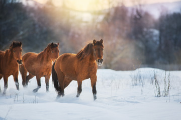 Bay horse herd in winter landscape at sunset