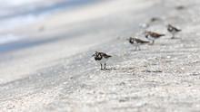 Ruddy Turnstone Bird Walking O...