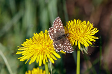 Grizzled Skipper Pyrgus Malvae Butterfly Sitting On Dandelion Flower. Cute Brown Spotted Insect In Wildlife.