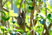 Japanese Pigmy Woodpecker