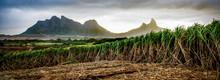 Sugar Cane Fields At Sunset, Near Les Trois Mamelles, Mauritius