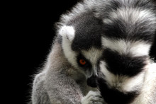 Portrait Of A Ring-tailed Lemu...