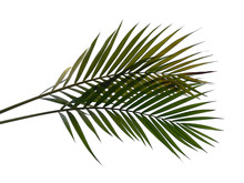 Bamboo Palm Leaves Or Palm Lea...